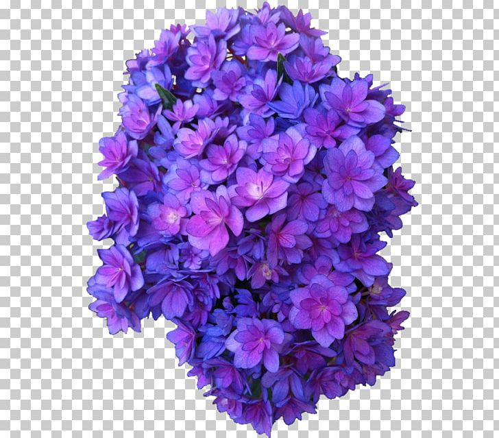 French Hydrangea Flower Purple Rose Violet PNG, Clipart, Annual Plant, Bellflower, Bellflower Family, Blue, Blue Rose Free PNG Download