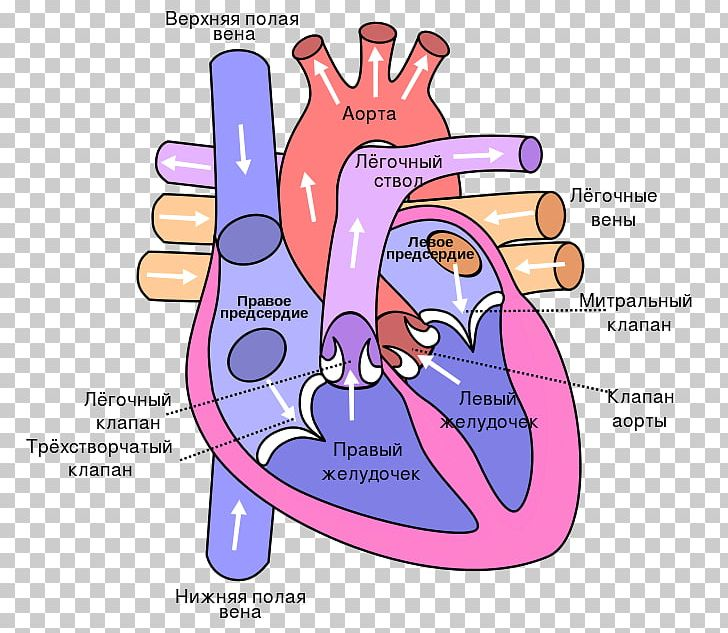Anatomy Of The Heart Diagram Lung Circulatory System PNG ...