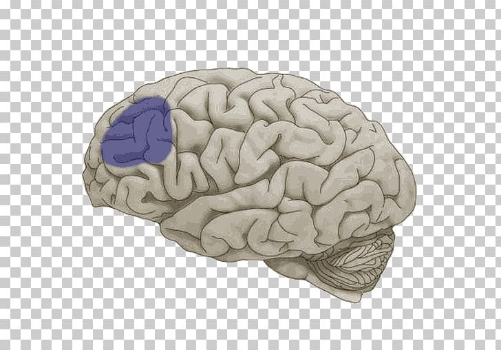 Lobes Of The Brain Frontal Lobe Temporal Lobe Cerebral Hemisphere PNG, Clipart, Basal Ganglia, Brain, Cerebral Hemisphere, Cerebrum, Frontal Lobe Free PNG Download
