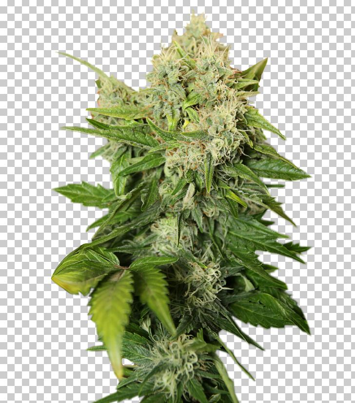 Cannabis Sativa Cannabis Cup Skunk Cannabis Tea Marijuana PNG, Clipart, Autoflowering Cannabis, Cannabis, Cannabis Cup, Cannabis Ruderalis, Cannabis Sativa Free PNG Download