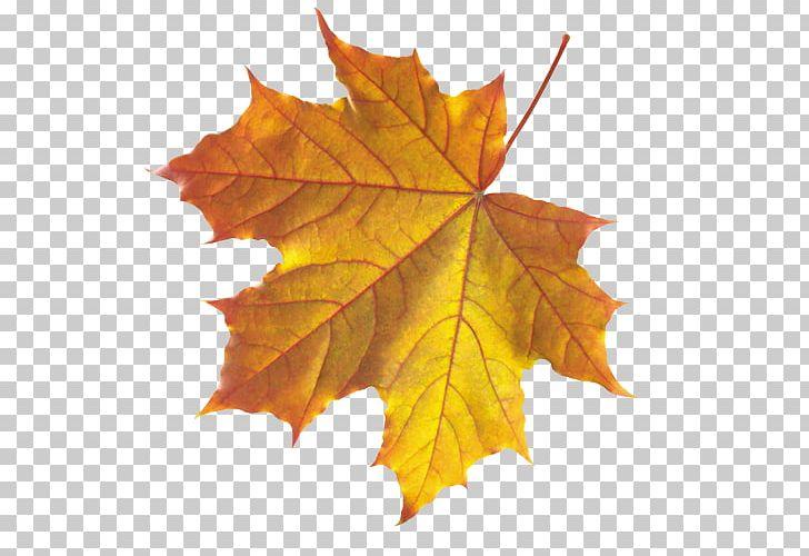Autumn Leaf Color Maple Leaf PNG, Clipart, Autumn, Autumn Leaf Color, Computer Icons, Deciduous, Leaf Free PNG Download