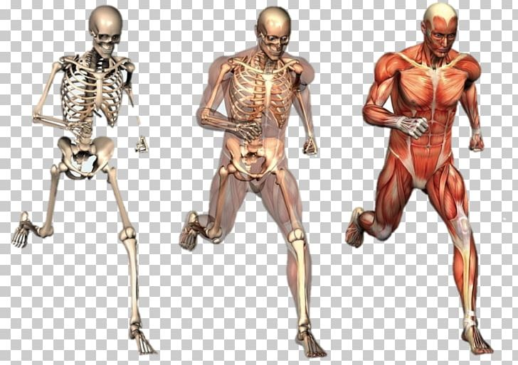 Human Body Human Skeleton Anatomy Organ Muscle PNG, Clipart