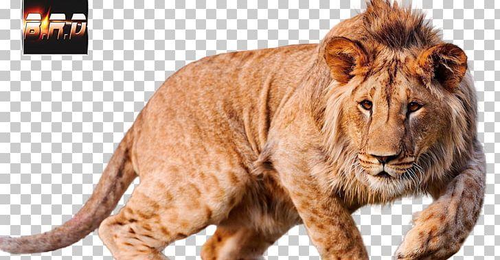 Lion 4k Resolution Ultra High Definition Television Desktop Png Clipart Animals Big Cats Carnivoran Cat Like