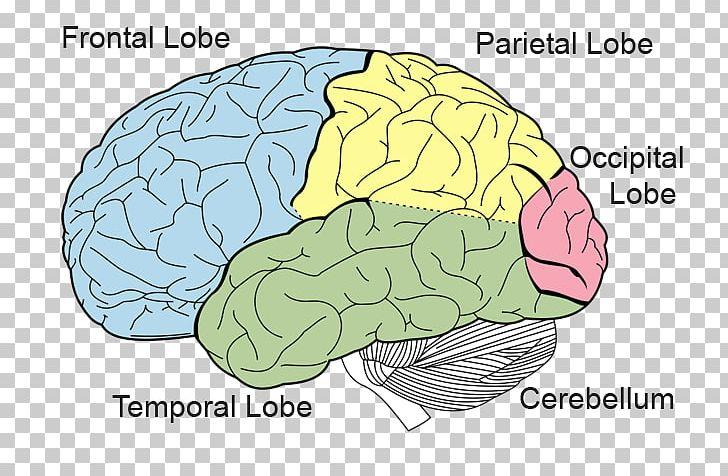 Lobes Of The Brain Frontal Lobe Parietal Lobe Occipital Lobe PNG, Clipart, Area, Brain, Brainstem, Cerebral Cortex, Cerebral Hemisphere Free PNG Download