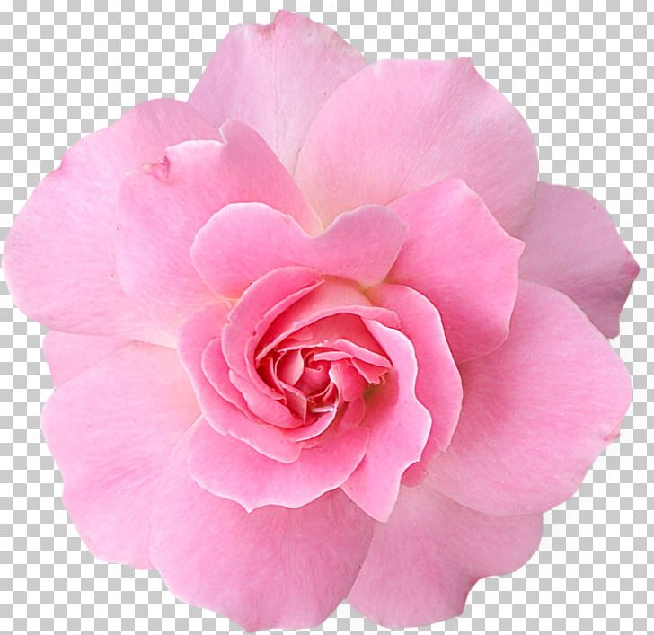 Pink Flowers Rose PNG, Clipart, Blue, Camellia, China Rose, Color, Computer Icons Free PNG Download