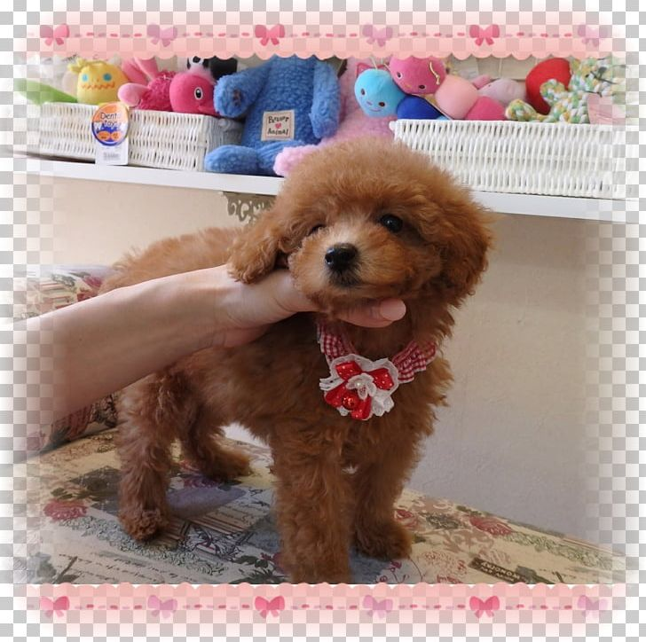 Toy Cavapoo