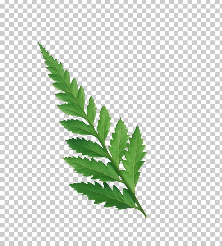 Leaf Plant Stem Fern Drawing PNG, Clipart, Blog, Cosmetics