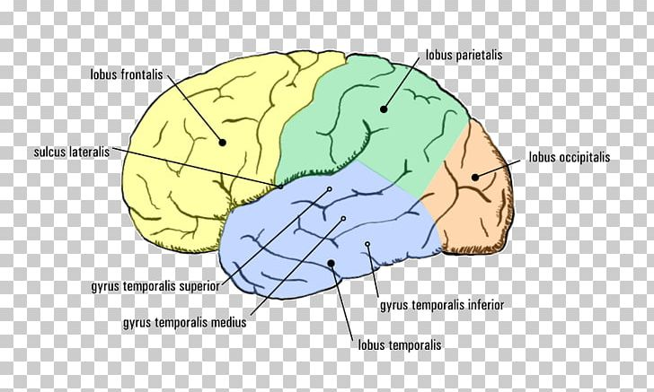 Temporal Lobe Epilepsy Cerebral Cortex Agy PNG, Clipart, Agy, Area, Brain, Cerebral Cortex, Cerebral Palsy Free PNG Download