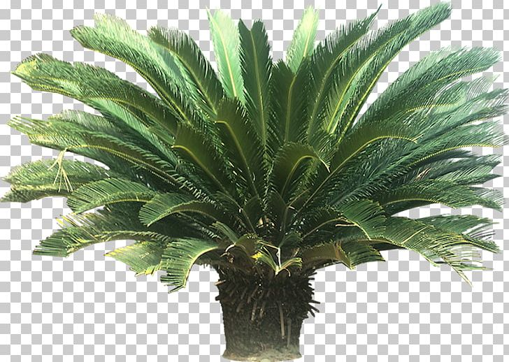 Cycad Sago Palm Houseplant Arecaceae PNG, Clipart, Annual ... on palm christmas, palm rats, palm vector, palm chamaedorea seifrizii, palm shoot, palm bamboo, palm leaf chickee, palm roses, palm drawing, palm flowers, palm seeds, palm beetle, palm shrubs, palm bonsai, palm trees, palm leaf cut out, palm tr, palm diagram, palm pattern, palm border,
