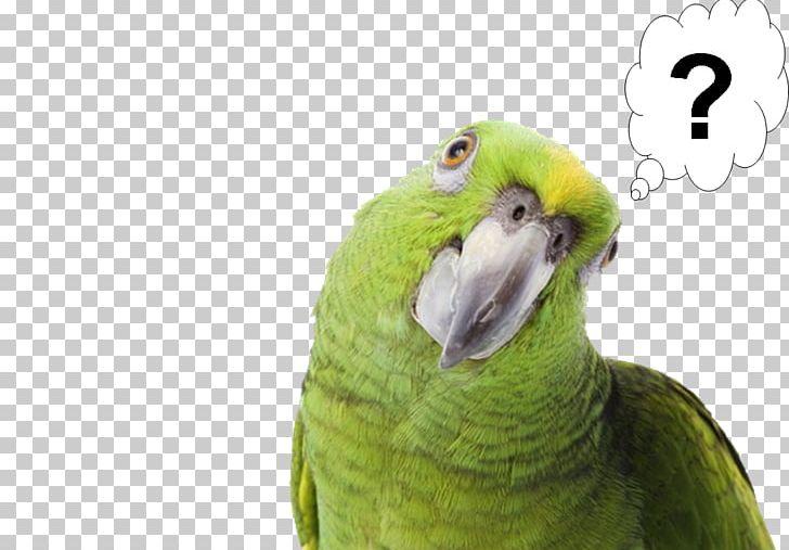 Pirate Parrot Bird Yellow-naped Amazon Pet PNG, Clipart, Amazon Parrot, Animals, Background, Beak, Bird Free PNG Download