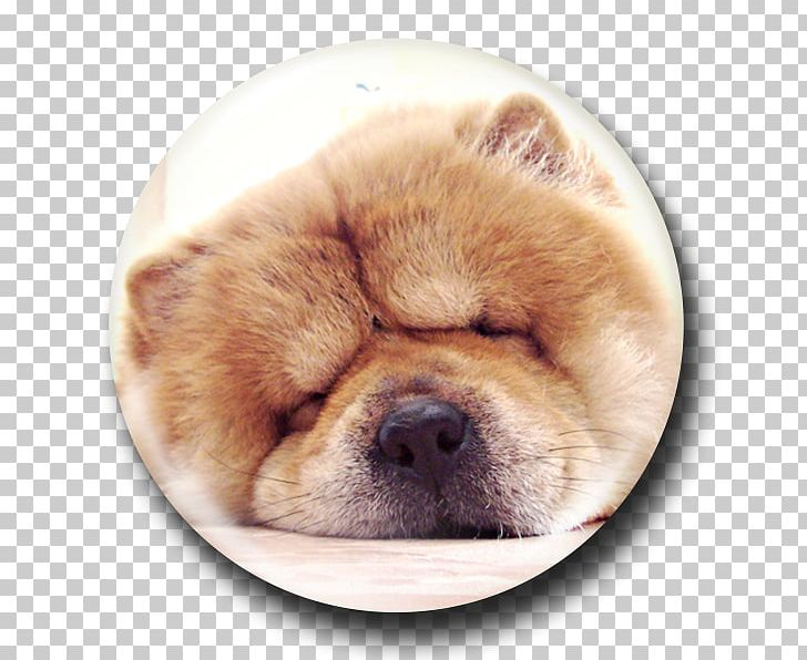Chow Chow Puppy Dog Breed Companion Dog Non-sporting Group