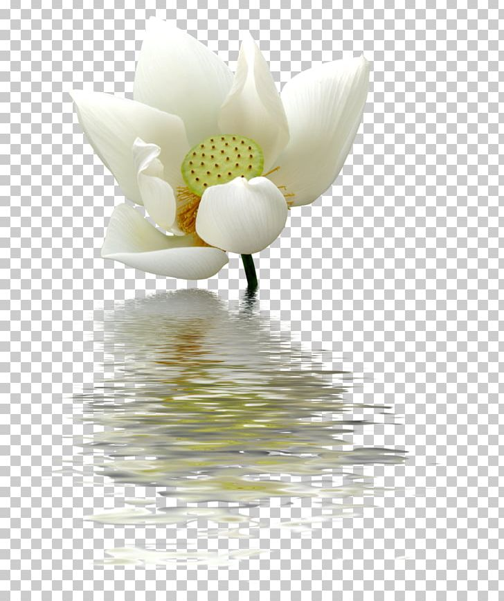 Nelumbo Nucifera Flower Egyptian Lotus Png Clipart Clipart Images, Photos, Reviews