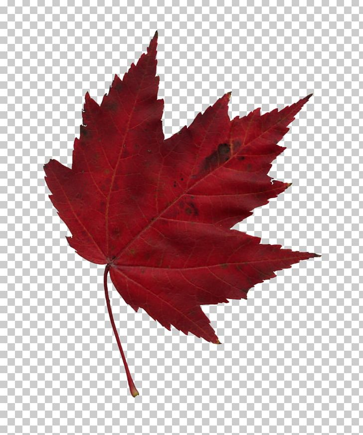 Japanese Maple Maple Leaf Autumn PNG, Clipart, Autumn, Autumn Leaf Color, Autumn Leaves, Cartoon, Japanese Maple Free PNG Download