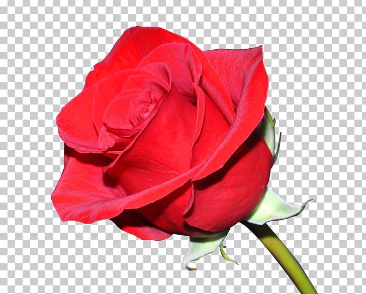 T-shirt Damask Rose Flower Floral Design Garden Roses PNG, Clipart, China Rose, Closeup, Cut Flowers, Damask Rose, David Ch Austin Free PNG Download