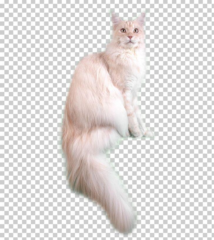 Asian Semi Longhair Siberian Cat Persian Cat Ragdoll
