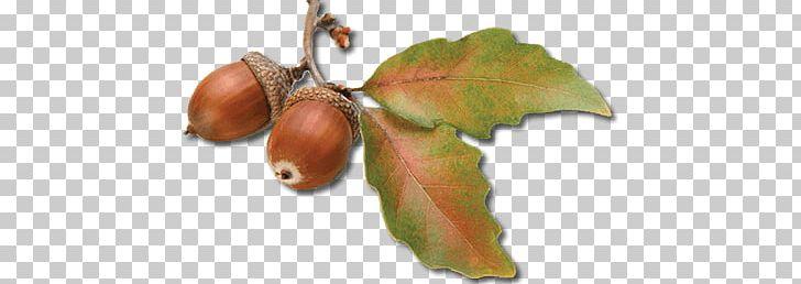 Acorn Autumn Leaves PNG, Clipart, Acorns, Nature Free PNG Download