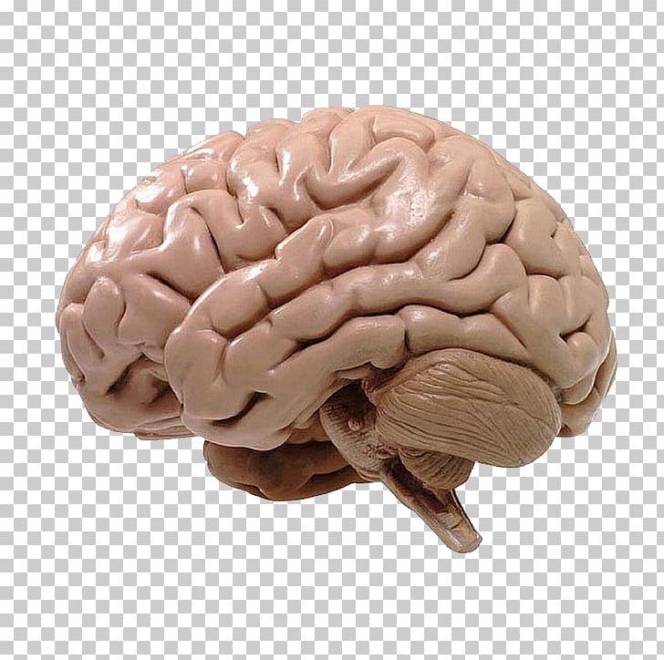 Human Brain BRAIN Initiative Neuroscience Cognitive Training PNG, Clipart, Brain, Brain Initiative, Cognitive Training, Function, Human Anatomy Free PNG Download