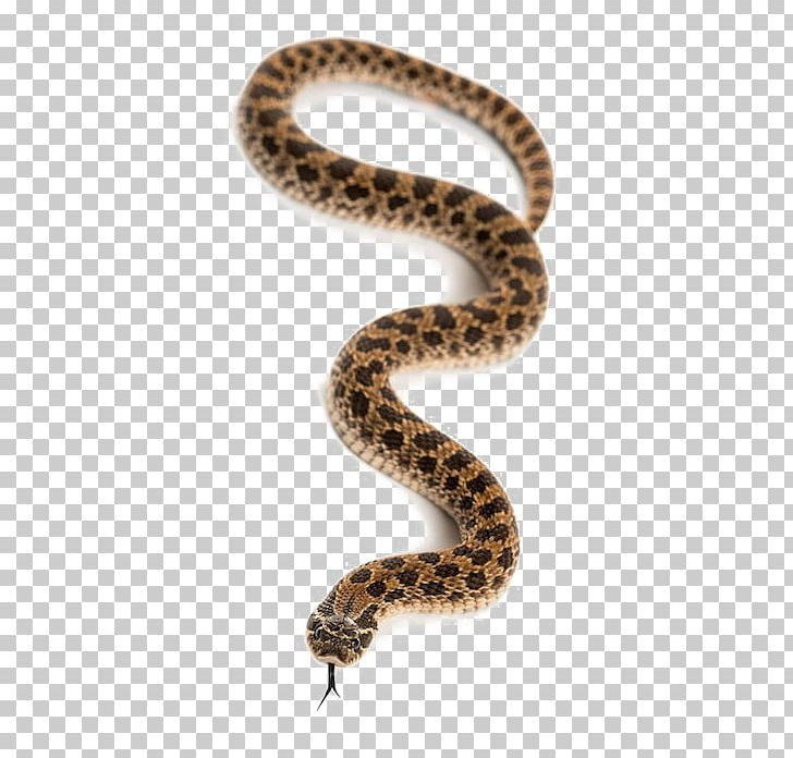 Western Hognose Snake Stock Photography Bitis Arietans PNG, Clipart, Alamy, Animals, Boa Constrictor, Boas, Colubridae Free PNG Download