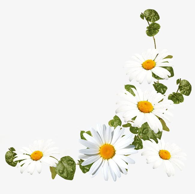 White Daisy Flower Decoration Pattern PNG, Clipart, Daisy
