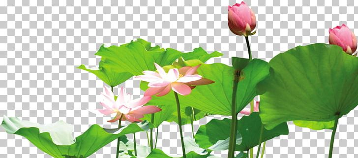 Nelumbo Nucifera Lotus Root Png Clipart Aquatic Plant Bamboo Bud