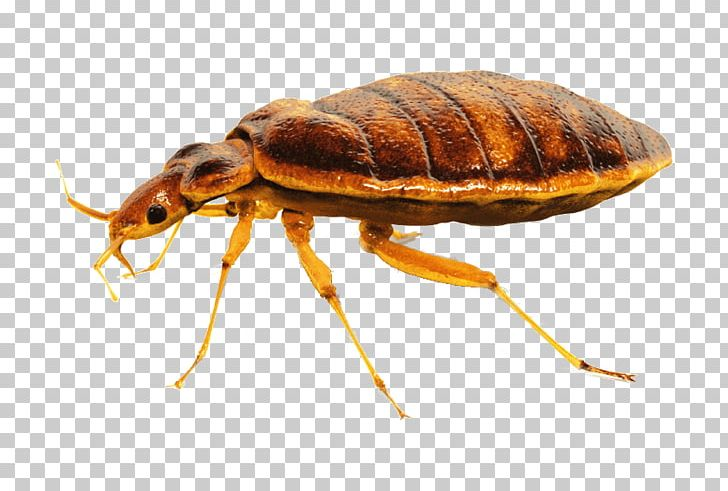Bed Bug PNG, Clipart, Bed Bug Free PNG Download