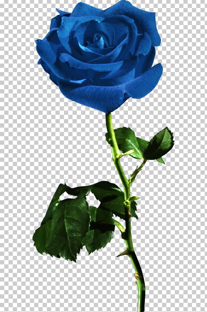 Garden Roses Blue Rose Flower Red PNG, Clipart,  Free PNG Download