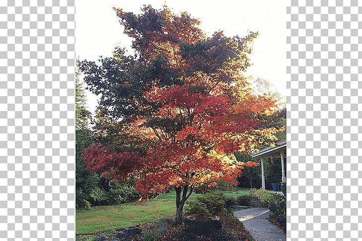 Japanese Maple Broad-leaved Tree Oak Deciduous PNG, Clipart, Autumn, Biome, Broadleaved Tree, Deciduous, Evergreen Free PNG Download