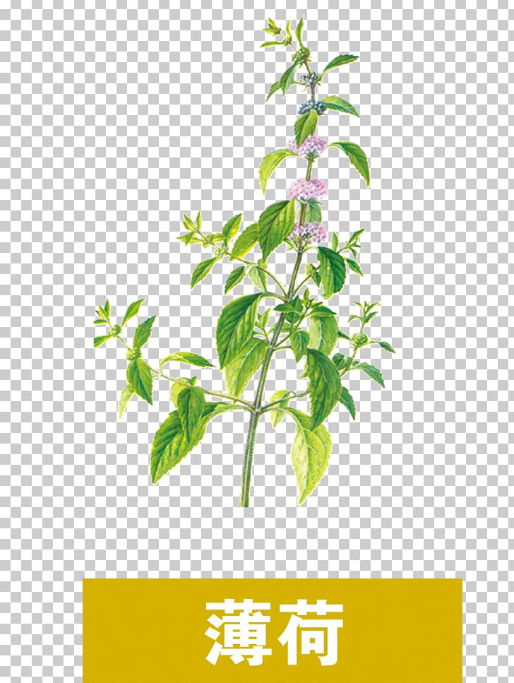 Compendium Of Materia Medica Traditional Chinese Medicine Chinese Herbology Mint PNG, Clipart, Branch, Chinese, Chinese Food , Flower, Grass Free PNG Download