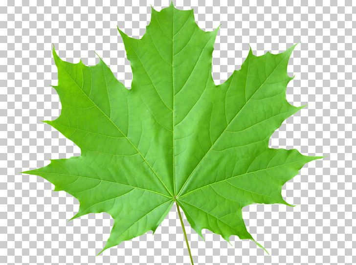 Sugar Maple Autumn Leaf Color Green PNG, Clipart, Autumn Leaf Color, Color, Desktop Wallpaper, Green, Green Leaves Free PNG Download