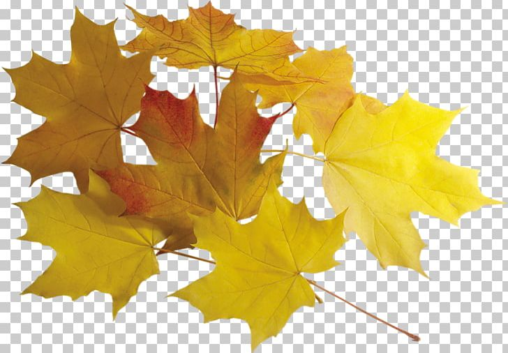 Leaf Autumn Leaves PNG, Clipart, Autumn, Autumn Leaves, Chart, Dots Per Inch, Leaf Free PNG Download