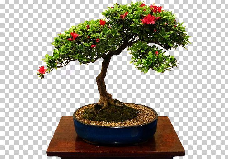 Chinese Sweet Plum Bonsais Bonsai Tree Beautiful Bonsai Png Clipart Azalea Beautiful Bonsai Bonsai Bonsai Cultivation