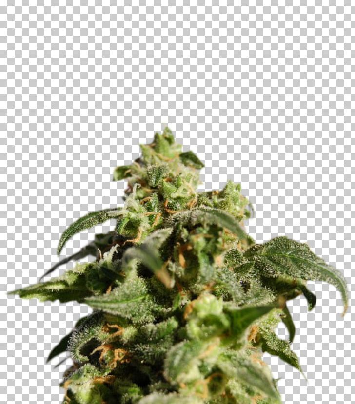 Skunk Kush Cannabis Sativa Autoflowering Cannabis PNG, Clipart, Animals, Autoflowering Cannabis, Cannabidiol, Cannabis, Cannabis Sativa Free PNG Download