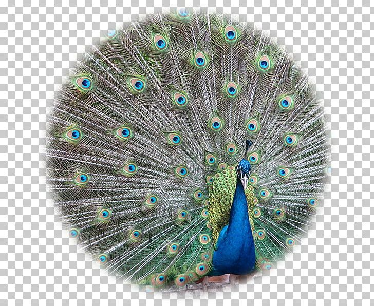 Bird Asiatic Peafowl Pavo Feather Stock Photography PNG, Clipart, Animals, Asiatic Peafowl, Bird, Color, Feather Free PNG Download