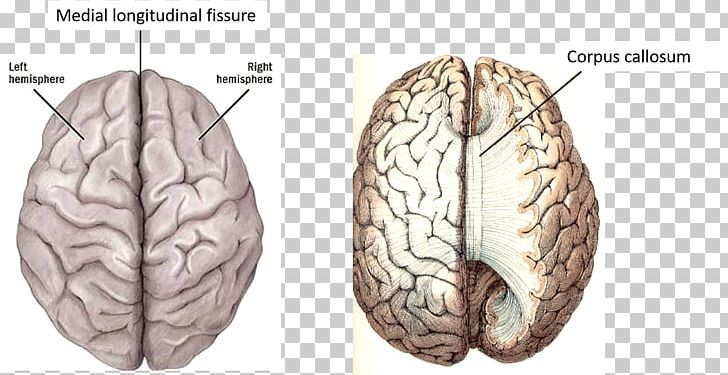Cerebral Hemisphere Lateralization Of Brain Function Human Brain Cerebral Cortex PNG, Clipart, Anatomy, Brain, Central Nervous System, Cerebral Cortex, Cerebral Hemisphere Free PNG Download