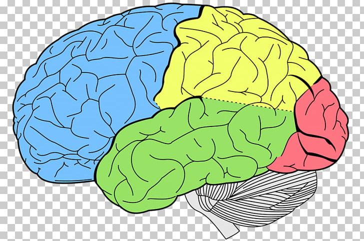 Lobes Of The Brain Occipital Lobe Frontal Lobe Cerebral Cortex PNG, Clipart, Anatomy, Area, Brain, Cerebral Cortex, Cerebrum Free PNG Download