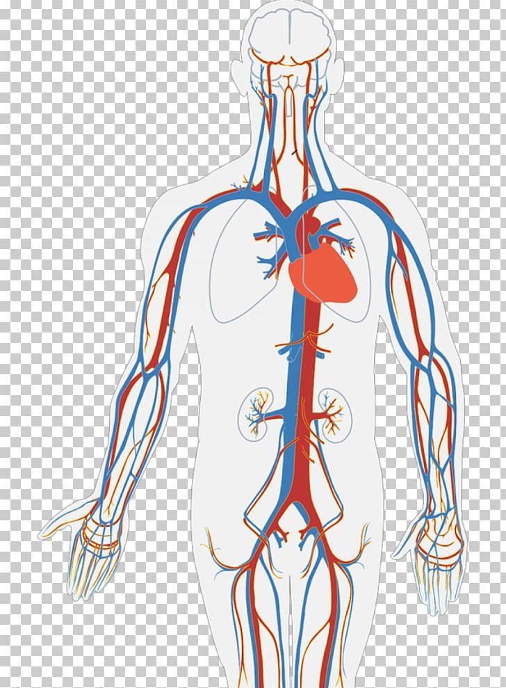 Circulatory System Human Body Diagram Organ Heart PNG ...