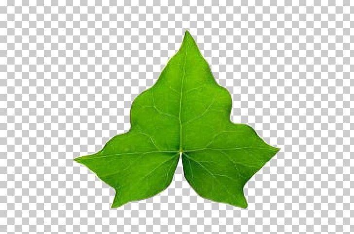 Common Ivy Hedera Hibernica Leaf Vine PNG, Clipart, Autumn