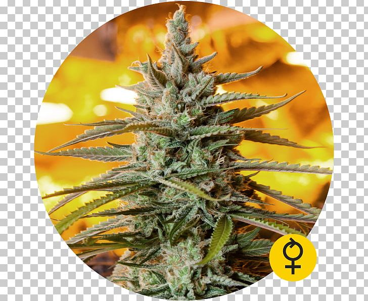 Autoflowering Cannabis Northern Lights Seed Marijuana