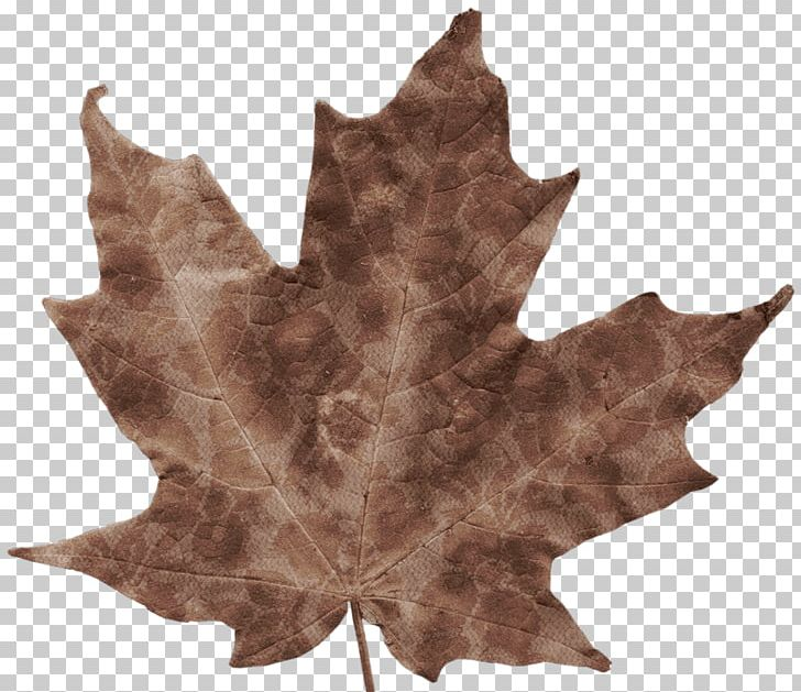 Autumn Leaves Autumn Leaf Color Maple Leaf PNG, Clipart, Autumn, Autumn Leaf Color, Autumn Leaves, Brown, Chlorophyll Free PNG Download