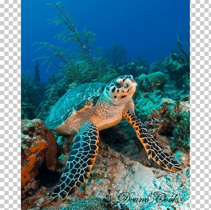 Loggerhead Sea Turtle Coral Reef Hawksbill Sea Turtle Tortoise PNG, Clipart, Animals, Canvas, Canvas Print, Coloring Book, Coral Free PNG Download
