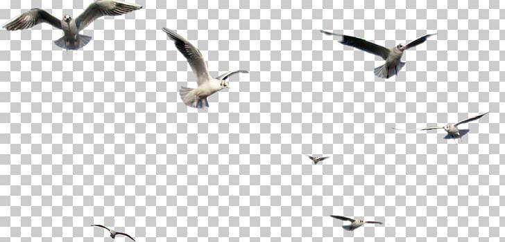 Bird PNG, Clipart, Animal Migration, Animals, Beak, Bird, Bird Clipart Free PNG Download