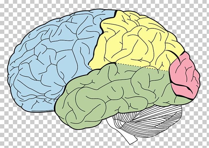 Lobes Of The Brain Parietal Lobe Temporal Lobe Frontal Lobe PNG, Clipart, Area, Cerebral Hemisphere, Cerebrum, Dorsolateral Prefrontal Cortex, Frontal Lobe Free PNG Download