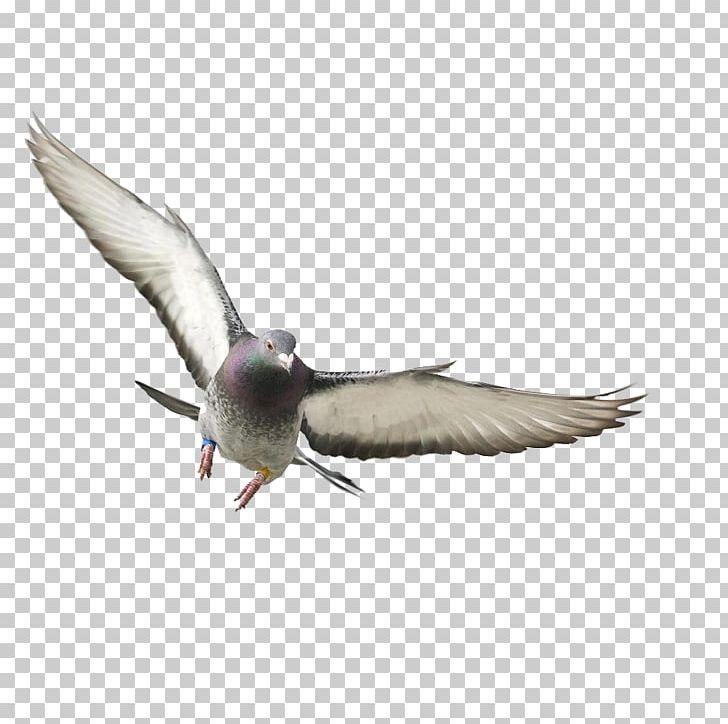 Rock Dove Bird Columbidae Flight Wing PNG, Clipart, Animals, Beak, Bird, Bird Flight, Charadriiformes Free PNG Download