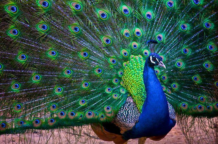 India Bird Asiatic Peafowl Rock Dove Columbidae PNG, Clipart, Animal, Animals, Ashy Prinia, Asiatic Peafowl, Beak Free PNG Download