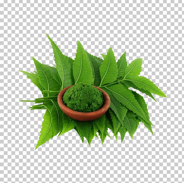 Neem Tree Neem Oil Extract Plant Png Clipart Affect Azadirachta