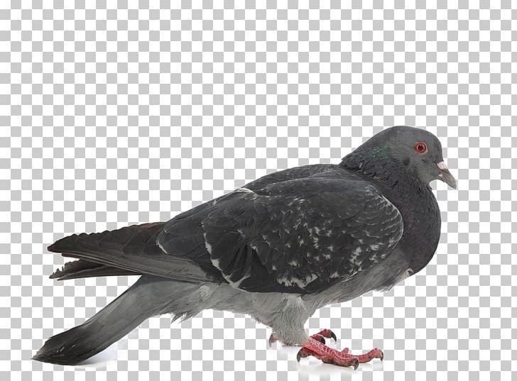 Rock Dove Columbidae Stock Dove Photography PNG, Clipart, Animals, Beak, Bird, Birds, Columba Free PNG Download