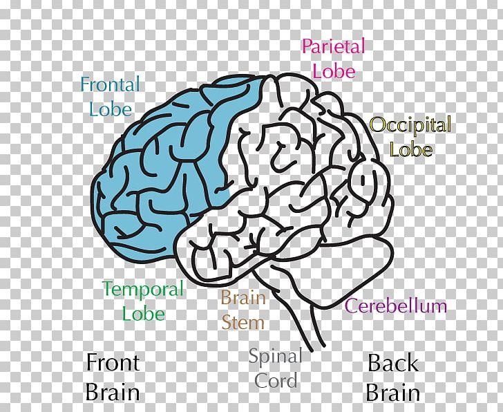 Lobes Of The Brain Frontal Lobe Temporal Lobe Parietal Lobe PNG, Clipart, Amygdala, Area, Brain, Cerebral Cortex, Cerebral Hemisphere Free PNG Download