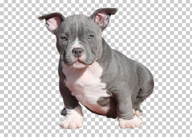 American Pit Bull Terrier American Staffordshire Terrier Dog