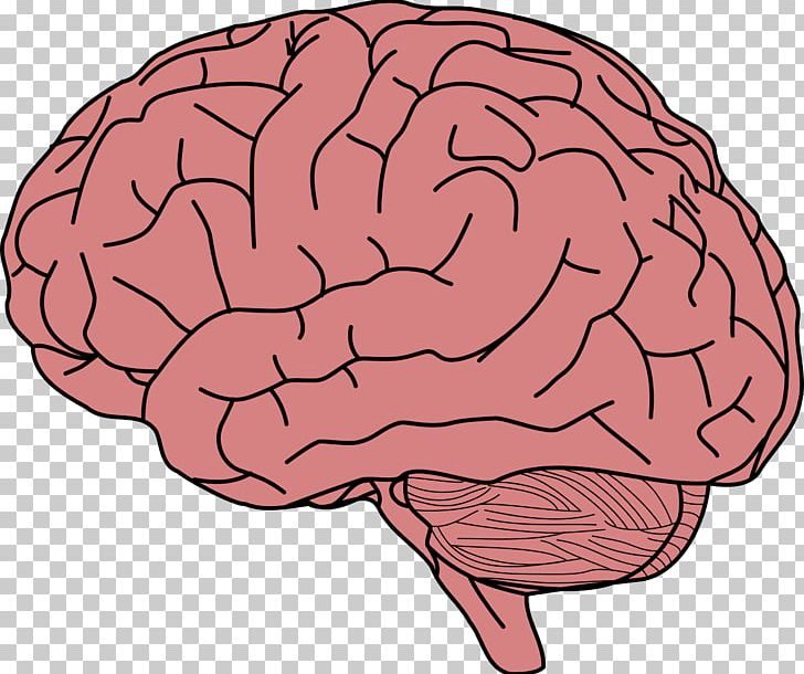 Human Brain Memory PNG, Clipart, Agy, Anatomy, Brain, Clip Art, Drawing Free PNG Download