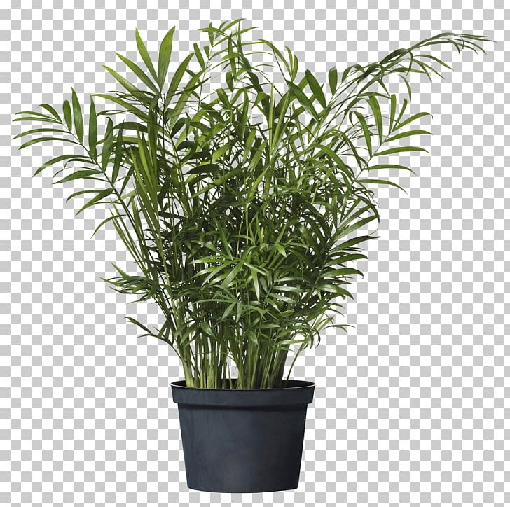 Chamaedorea Elegans Howea Forsteriana